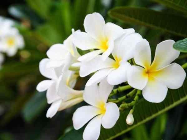 Mơ thấy hoa màu trắng