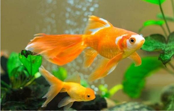 Đánh con gì khi mơ cá vàng