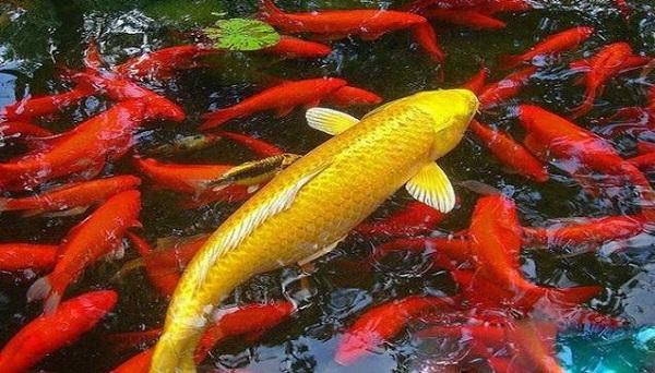 Mơ đàn cá vàng có điềm gì?