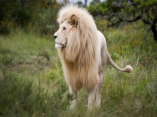 Mơ sư tử trắng có ý nghĩa gì