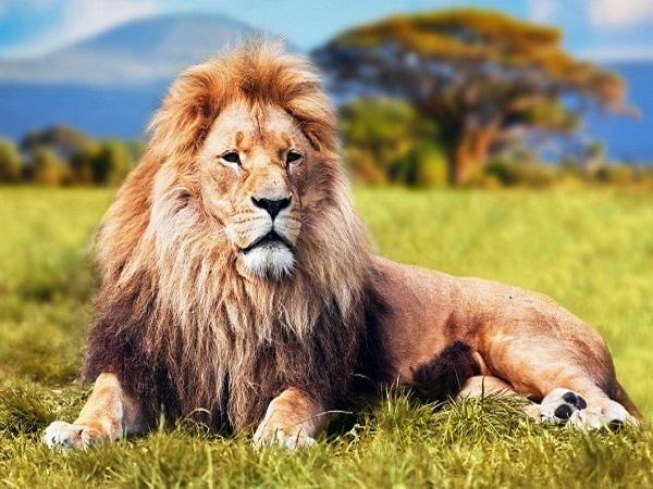 Mơ sư tử đánh số mấy