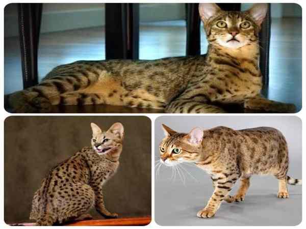 Những giống mèo đắt nhất thế giới