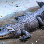 Nằm mơ thấy cá sấu đánh lô đề số mấy ? Mang điềm báo gì ?